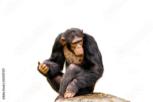 Valokuvatapetti The portrait of black chimpanzee isolate on white background.