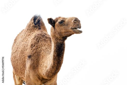 Foto Desert Camel