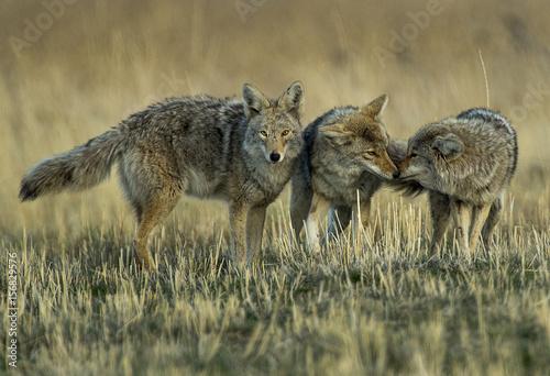 Murais de parede Coyote Meet