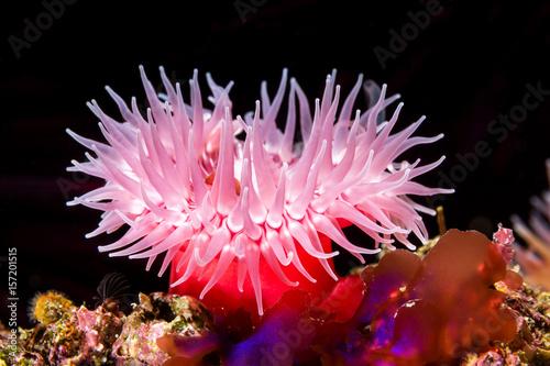 Billede på lærred Red sea anemone on reef