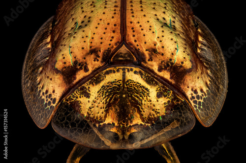 Frontal view of a golden tortoise beetle.The golden tortoise beetle is a species of beetle in the leaf beetle family, native to the Americas
