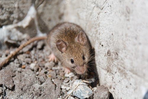 wild mouse. the mouse runs on a grass. gray mouse.