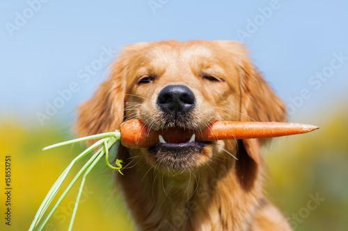 Obraz na płótnie young golden retriever with a carrot