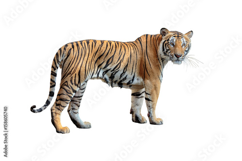 Wallpaper Mural tiger isolated on white background.
