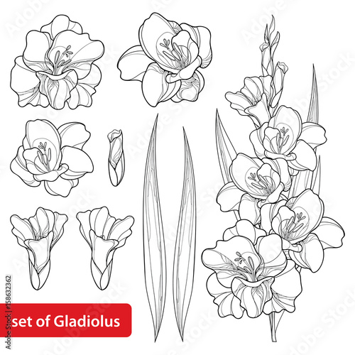 Photo Vector set with Gladiolus or sword lily flower, bunch, bud and leaf in black isolated on white background