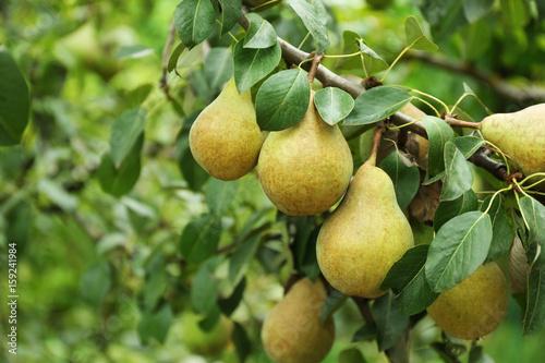 Pears on tree in fruit garden