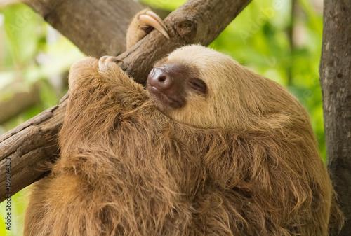 Fototapeta Sloth resting on tree