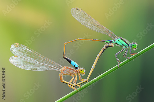 dragonfly, damselfly, insects, dragonfly mating,