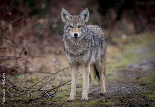 Canvas Print Coyote