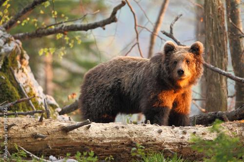 Slovenian bear