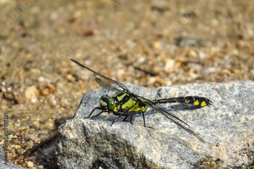 Grüne Flussjungfer, Ophiogomphus cecilia