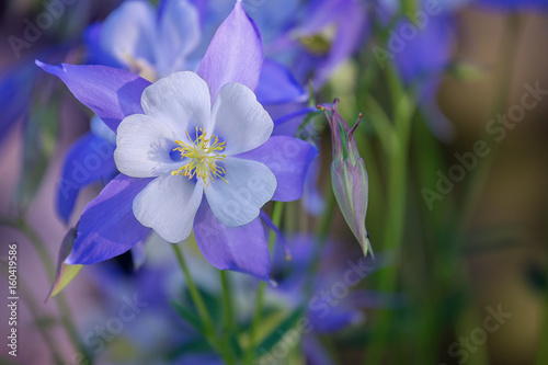 Foto Blooming Columbine flower and Bud, close-up