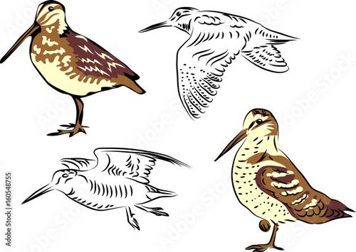 Woodcock Fototapeta