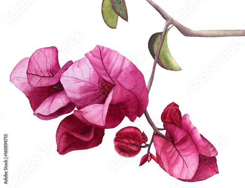 Fotomural Watercolor flowers Pink Bougainvillea. Hand drawn illustration.