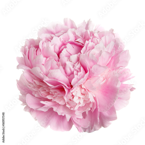 A flower gently pink peony isolated on white background.