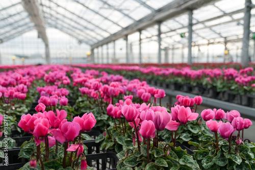 Valokuva ハウス栽培の花(冬)