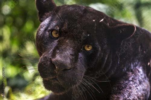 Obraz na plátně Black jaguar