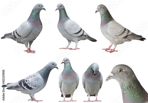 mixed of pigeon bird isolated white background