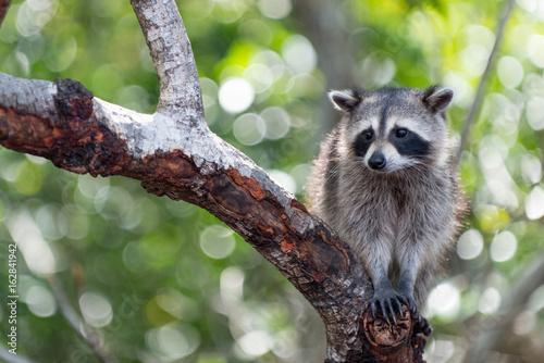 Canvas Print Raccoon in Tree