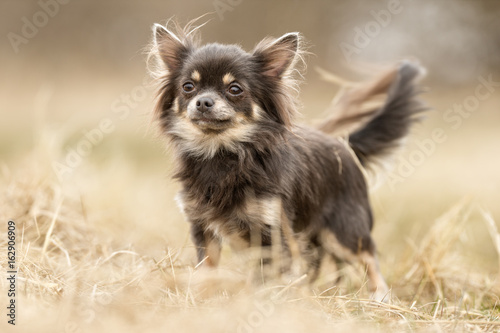 Canvas Print Chihuahua dog