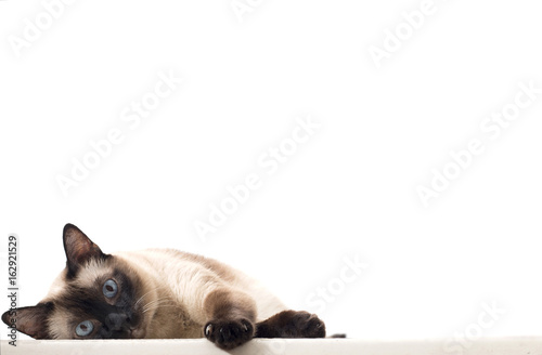 Wallpaper Mural An Isolated Siamese Cat Staring and Lying Down on A White Background