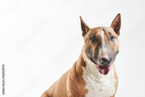 portrait of purebreed bull terrier sitting on white background with copy space Fototapet