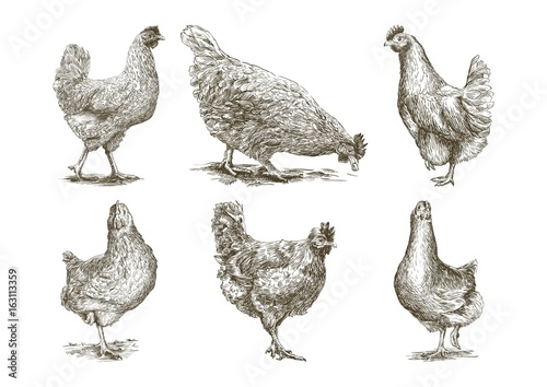 Leinwand Poster chicken breeding. animal husbandry. vector sketches on white