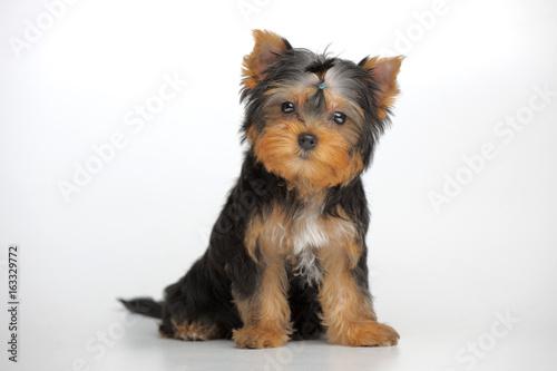 Canvas Print Portrait of yorkshire terrier puppy