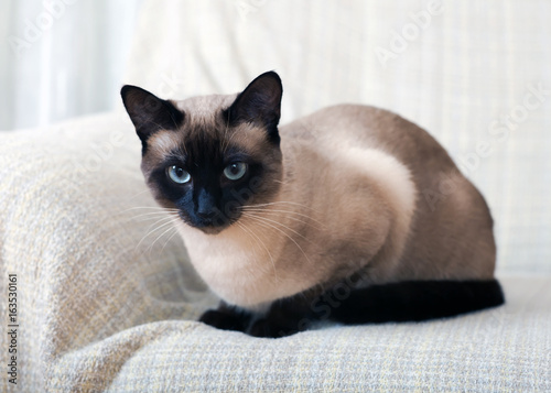 Canvas Print Siamese cat on a sofa at home.