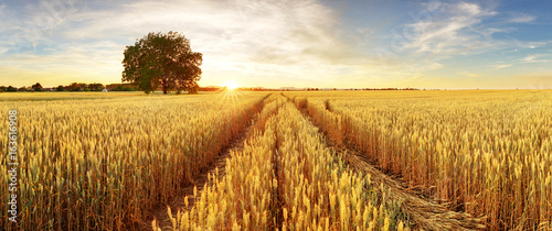 Foto Gold Wheat flied panorama with tree at sunset, rural countryside