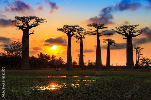 Obraz na płótnie Beautiful Baobab trees at sunset at the avenue of the baobabs in Madagascar