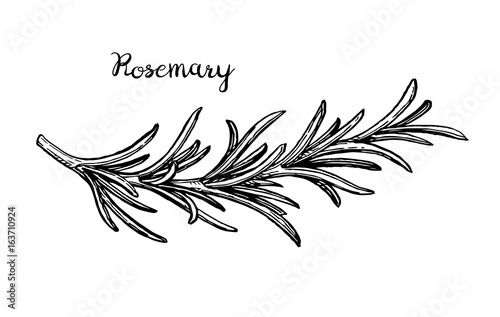 Photo Rosemary branch sketch.