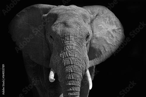 Plakat Duży słoń afrykański zabawiający się światłem