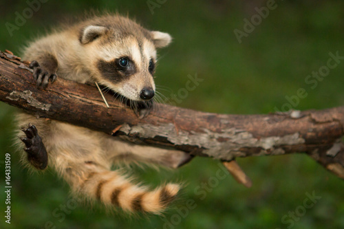 Canvas Print Baby raccoon hanging in there