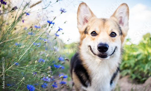 Canvas Print Happy and active purebred Welsh Corgi dog outdoors in the flowers on a sunny summer day