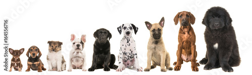 Vászonkép Nine different breed puppy dogs on a row from small to large isolated on a white