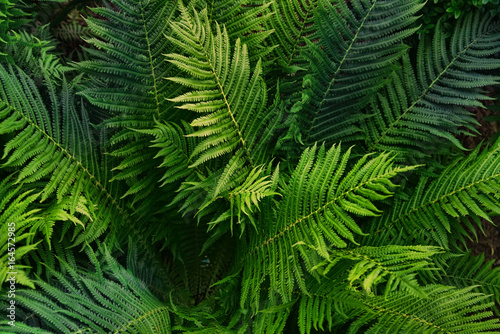 Natural background of green fern leaves. Creative composition of the texture of leaves. Leaf texture background.