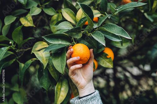 Fototapeta The girl is holding an orange