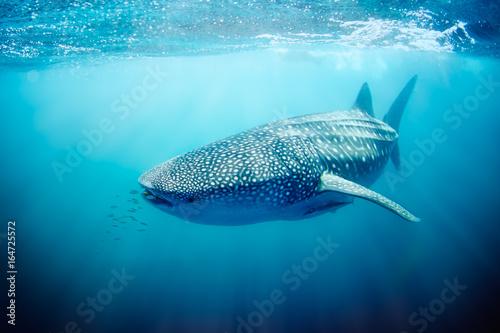 Canvas Print Whale shark swimming on the Ningaloo Reef, Western Australia