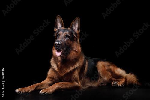 Stampa su Tela Dog German shepherd on a black background