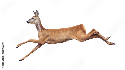 Canvas Print Jump of the Roe Deer isolated on white.