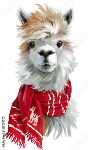 Fototapeta Alpaca wearing a red scarf
