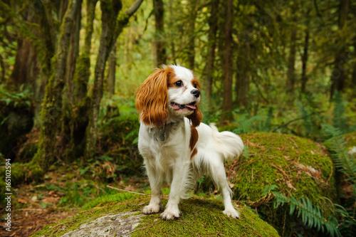 Fotografía Cavalier King Charles Spaniel dog standing in mossy forest