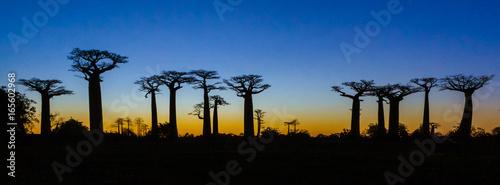 Photo Sunset on baobab trees