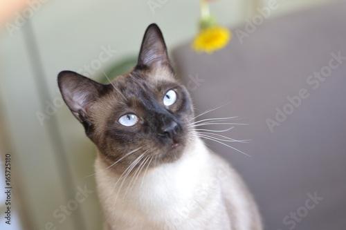 Stampa su Tela Siamese cat at home
