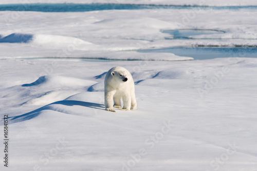 Obraz na plátne Polar bear on the pack ice