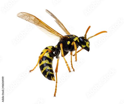 Vászonkép wasp isolated on white