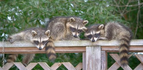 Fototapeta Three baby Raccoons