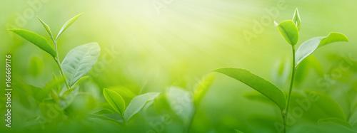 Fototapeta Świeże liście herbaty o poranku
