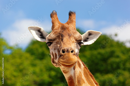 Close-up of a giraffe in front of some green trees and blue sky, looking at the camera as if to say You looking at me? With space for text.